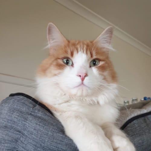 Dexter  - Domestic Long Hair Cat