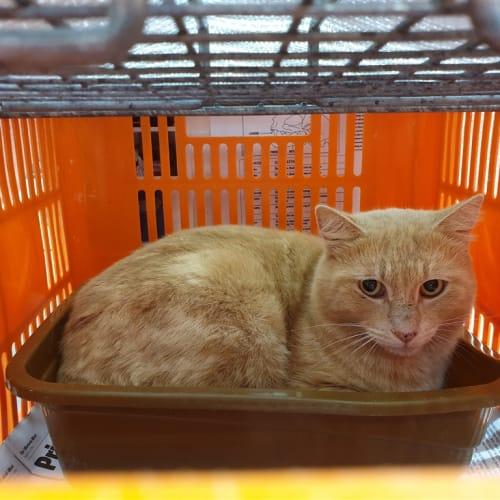 Tyelis - Domestic Short Hair Cat