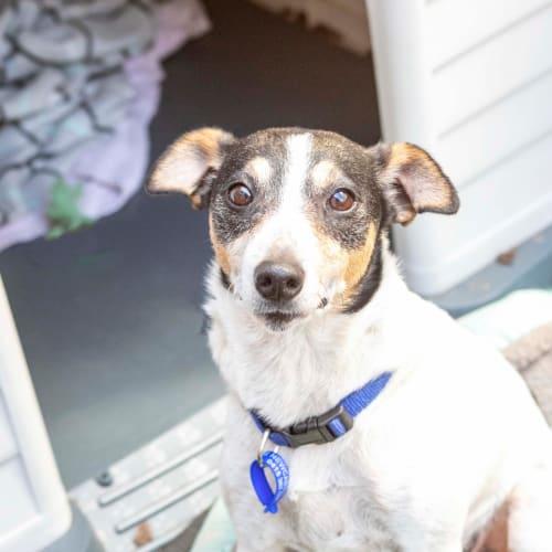 Dottie ~ 6 year old Foxie X  - Miniature Fox Terrier Dog