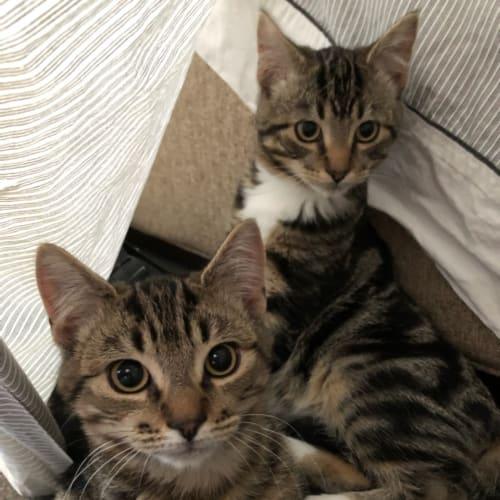 Harley & Flynn.❤❤ - Domestic Short Hair Cat
