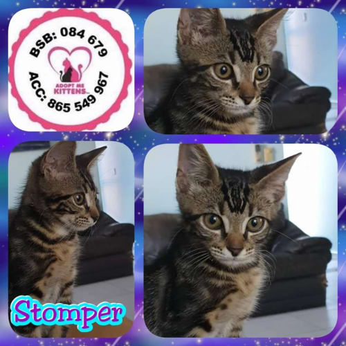 Stomper - Domestic Short Hair Cat