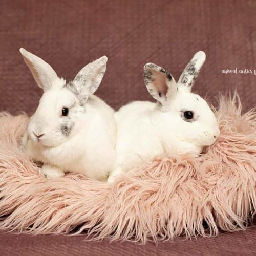 Darcie + Delilah - Harlequin x Domestic Rabbit
