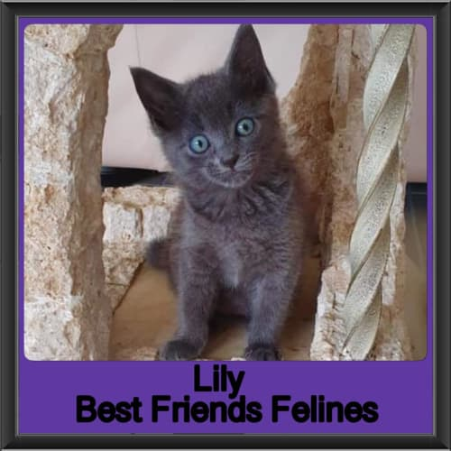 Lily  - Domestic Short Hair Cat