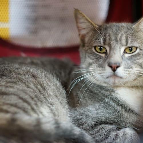 Cambo - Domestic Short Hair Cat