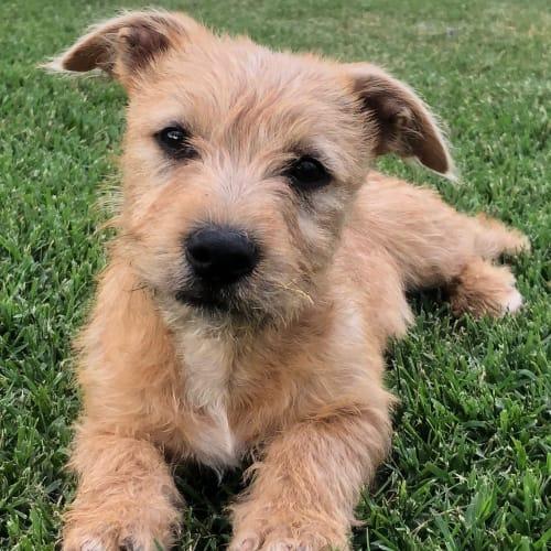 Fuzzy - Border Terrier Dog