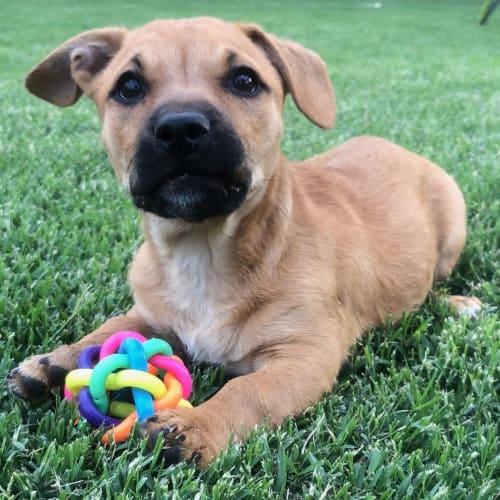Felix - Border Terrier Dog