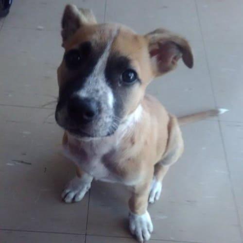 Roxy - Mixed Breed Dog