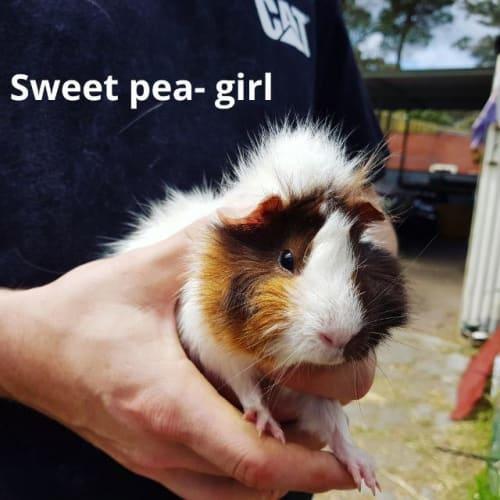 Sweet Pea - Guinea Pig
