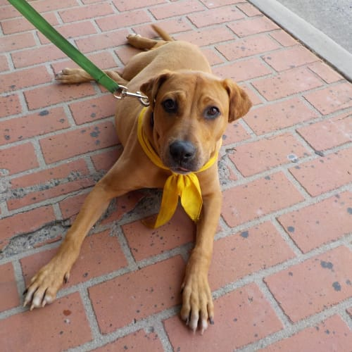 Harley  - American Staffordshire Terrier x Rottweiler Dog