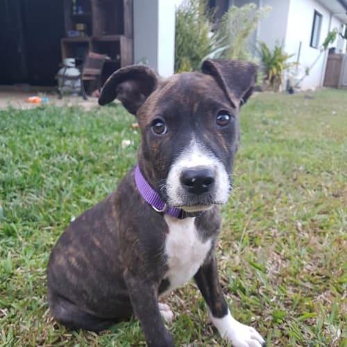 Java  - Kelpie x Staffy Dog