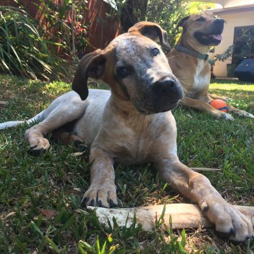 Max  - Bull Arab x Red Heeler Dog