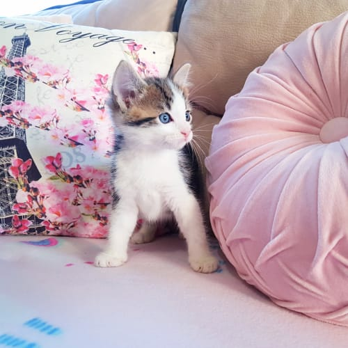 Rescue Kittens - Domestic Short Hair Cat