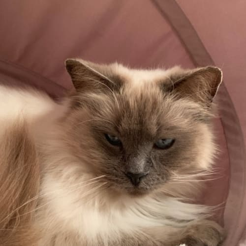 Winter (bonded pair with Rocky) - Ragdoll Cat