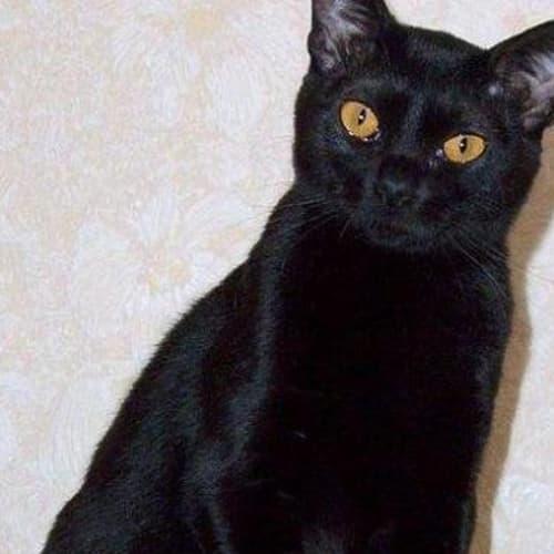 Shadow - Bombay Cat