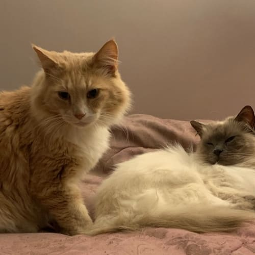 Rocky (bonded pairwith Winter) - Domestic Long Hair Cat