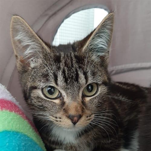 Panza - Domestic Short Hair Cat