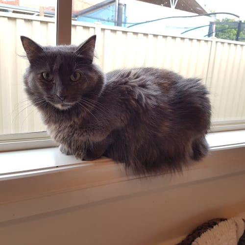 Amelia - Domestic Medium Hair Cat