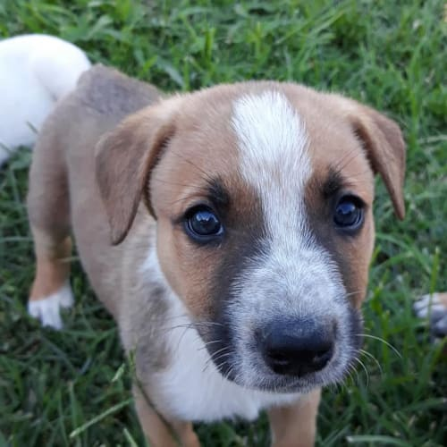 Dumbledore - Australian Cattle Dog x Irish Wolfhound Dog
