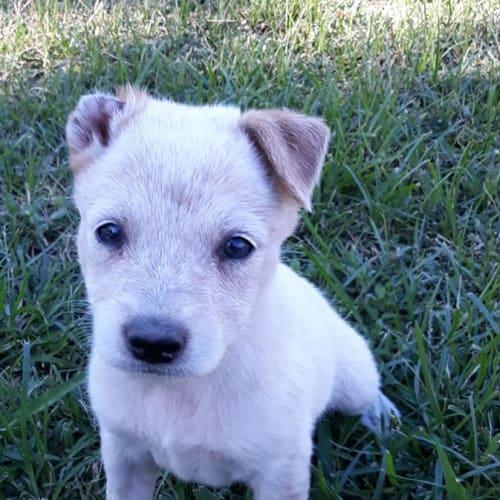 Ron - Australian Cattle Dog x Irish Wolfhound Dog