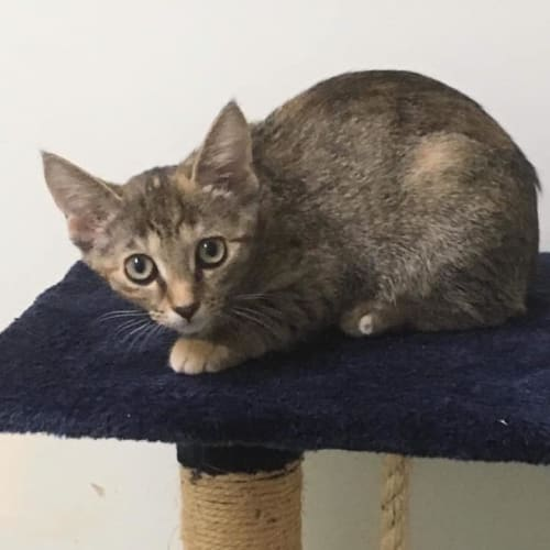 Muffin - Domestic Short Hair Cat