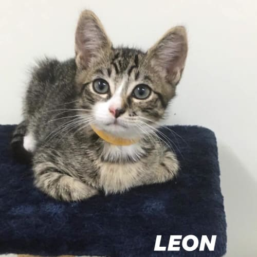 Leon - Domestic Short Hair Cat