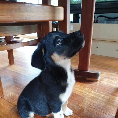 Maxwell - Kelpie Dog