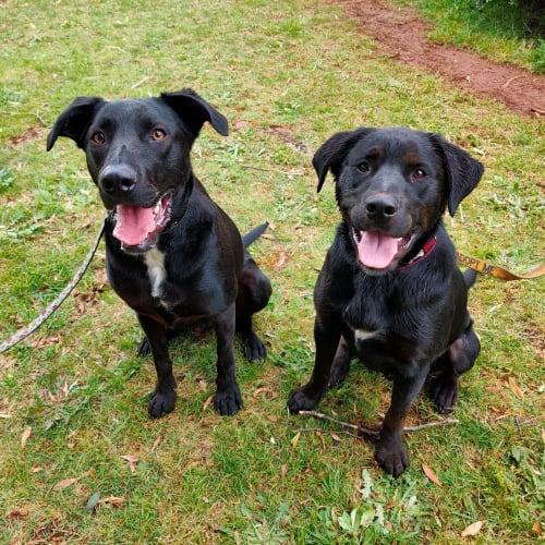 Mojo - Playful Buddy - Labrador Dog