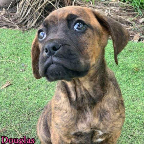 Douglas - Boxer Dog