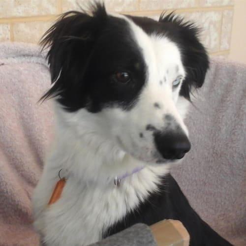 Sookie - Border Collie Dog