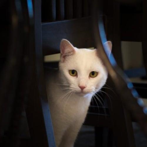Suki - Domestic Short Hair Cat