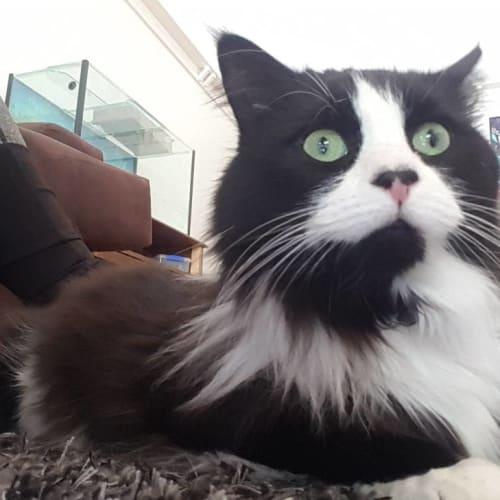 Juliet - Domestic Medium Hair Cat