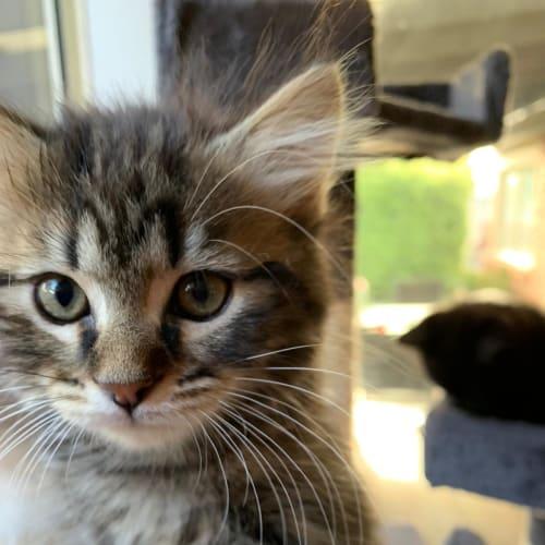 Jasper ^^Dandy Cat Rescue^^ - Domestic Short Hair Cat
