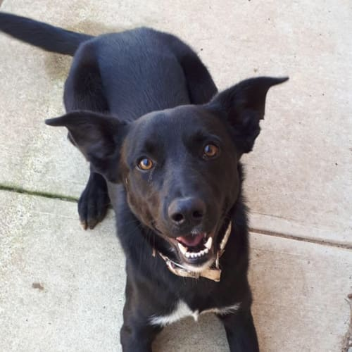 Baxter - Kelpie x Cross breed Dog