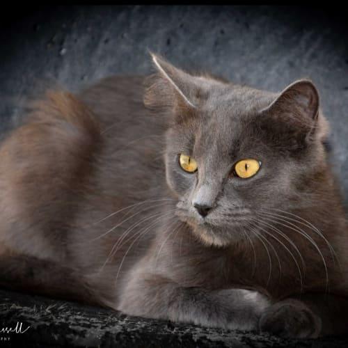 1178 - Narla - Domestic Medium Hair Cat