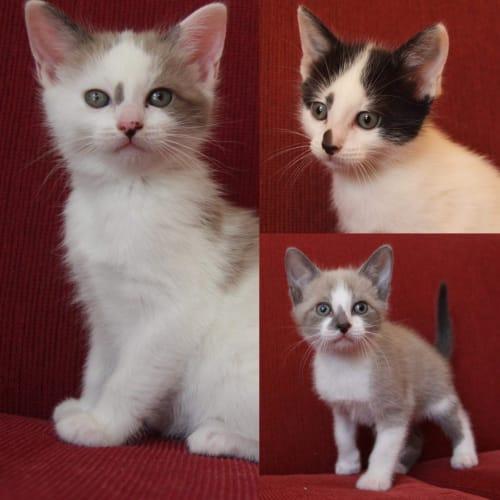 1401/1402/1403 - Pork Bun Spring Roll & Egg Tart - Domestic Short Hair Cat