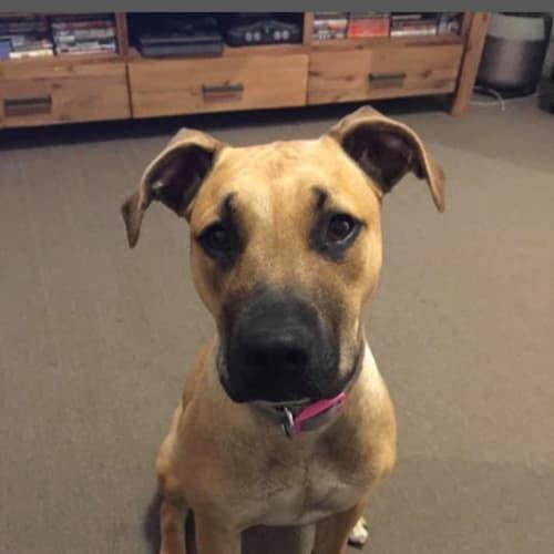 Zena - Mastiff Dog