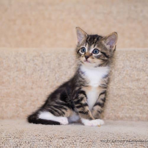 Oscar SK4030 - Domestic Short Hair Cat