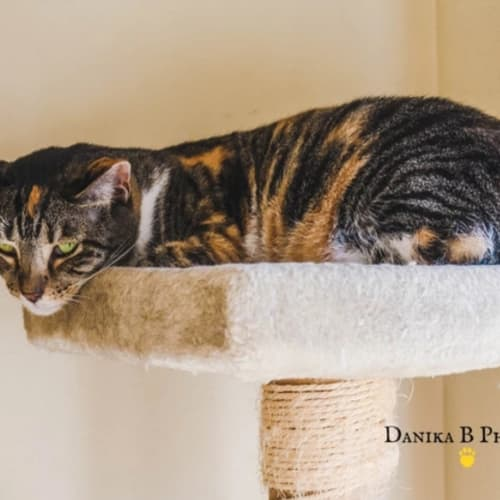 AU0011 – Roxie - Domestic Short Hair Cat