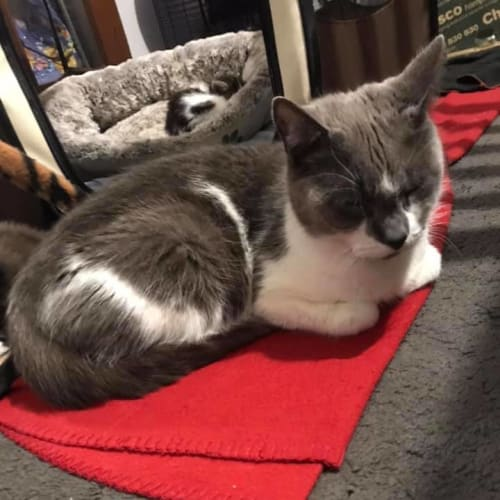 Tysha - Domestic Short Hair Cat