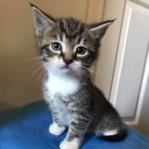 K-for - Domestic Short Hair Cat