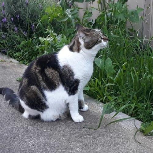 Kobi - Domestic Short Hair Cat