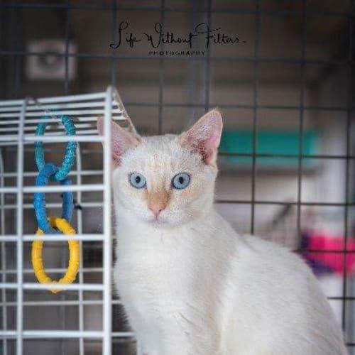 Sapphire - Siamese Cat