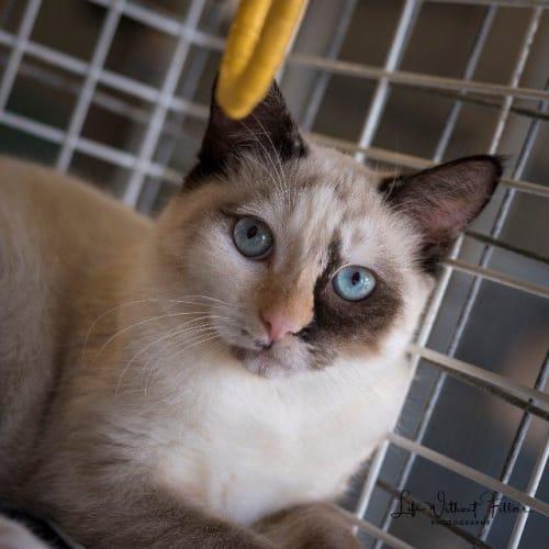 Sabrina - Siamese Cat