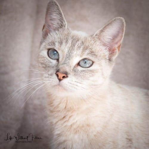 Zavanah - Domestic Short Hair x Ragdoll Cat