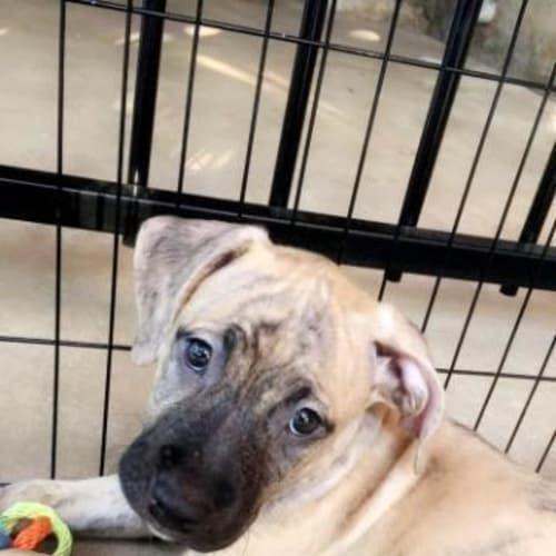 Akira - Mixed Breed Dog