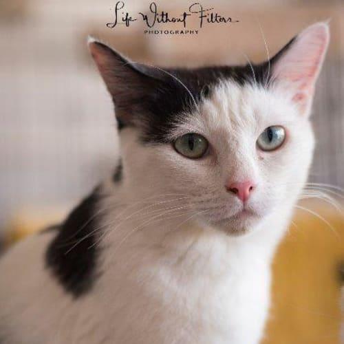 Zoey - Manx Cat