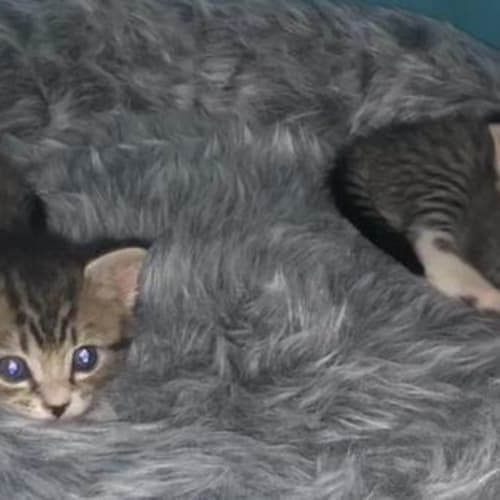 Maci - Domestic Short Hair Cat