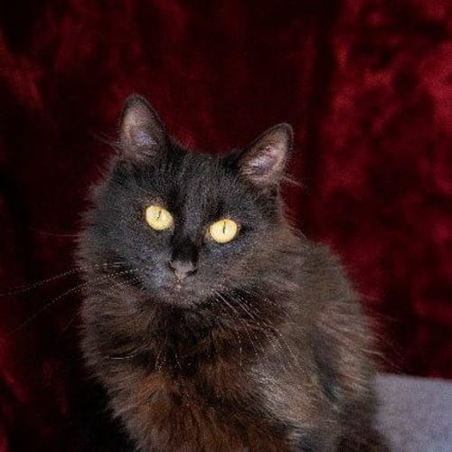 Phoenix - Domestic Long Hair Cat
