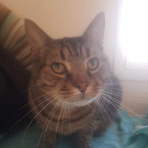 Tom / Ptollomy - Domestic Short Hair Cat