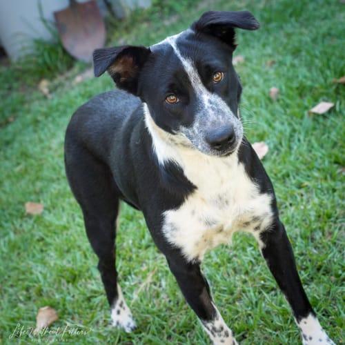 Lola - Border Collie x Cattle Dog